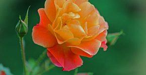 Rose_gelb_Pixabay_web