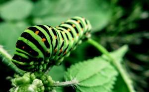 Pixabay_caterpillar-991433_
