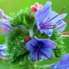 Pixabay_ordinary-natternkop