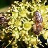 Efeu-Blüten als Herbstnahrung für Insekten