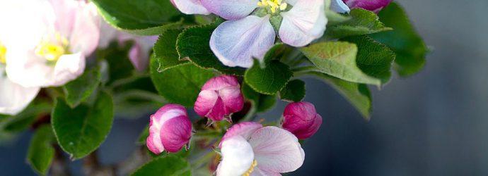 apple-blossom-1765938_1280