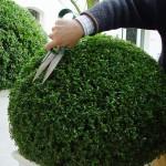 Buchsbaum schneiden | BDB / Grünes Presseportal