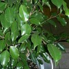 Ficus_benjamina_Wiki_Kenpei