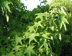 Amberbaum im Sommer