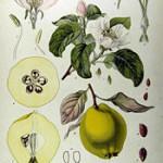 Quitte_Cydonia_oblonga_Wikipedia_Koehler_Medizinal-Pflanzen-049