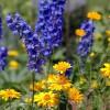 Rittersporn ist ein Star in der Sommerwiese | © fotolia / maronnika