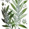 Olivenbaum_Wikipedia_gemeinfrei