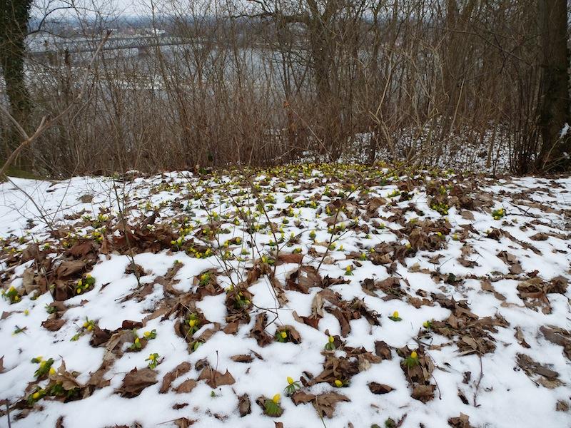 Winterlinge in Lauenburg