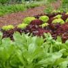 Salat im Bauerngarten | © Fotolia