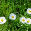 Gänseblümchen auf dem Rasen | Foto: fotolia.com