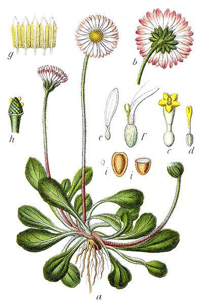 Gänseblümchen_Bellis_perennis_Wikipedia_Sturm