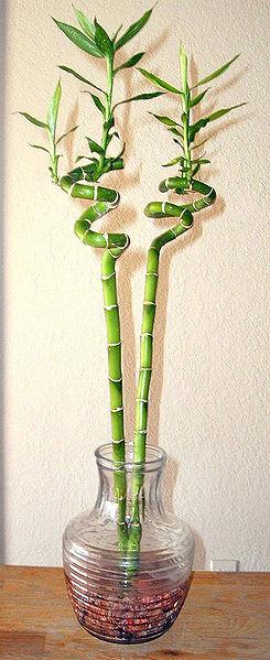 Glücksbambus_Lucky_bamboo_Wikipedia_Toby Lee Spiegel