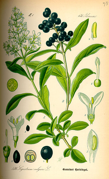 Illustration_Ligustrum_vulgare_Wikipedia_gemeinfrei