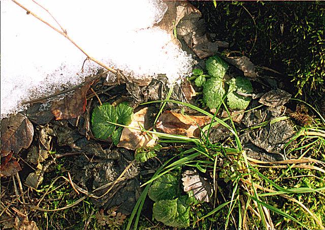 Schnee_und_Pflanzen_Wikipedia_Hutschi