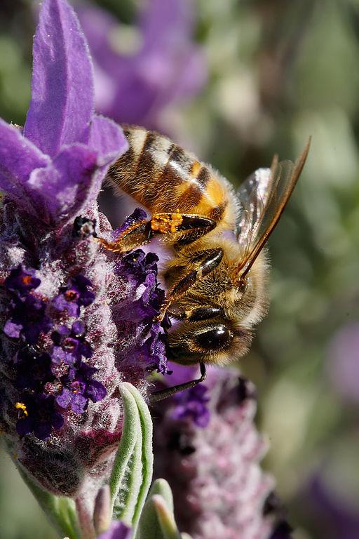 Bienen_Wikipedia_gemeinfrei