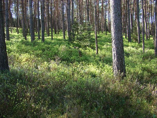 Heidelbeerwald_Wikipedia_Hajothh