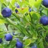 Heidelbeere_Wikipedia_Marek_Bieszczady_Flora