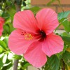 Hibiskus_Yellow Cat_Wikipedia