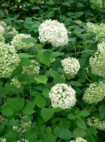 Hortensien_Hydrangea_arborescens_Wikipedia_kenpei