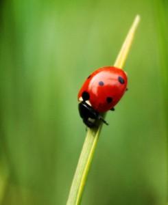 Die Larven des Marienkäfers ernähren sich von Blattläusen | © Fotolia
