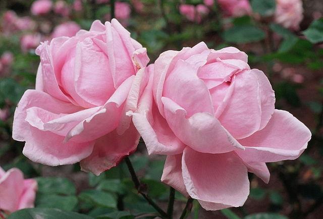Rosa_'Mme_Caroline_Testout'_Wikipedia_A_Barra