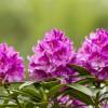 Rhododendron | © Fotolia