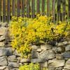 Steinkraut wächst auf einer Trockenmauer aus Naturstein | © LianeM/fotolia.com