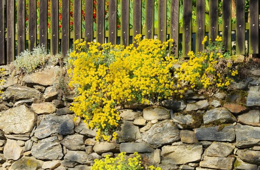 Steinkraut wächst auf einer Trocknemauer aus Naturstein | © LianeM/fotolia.com