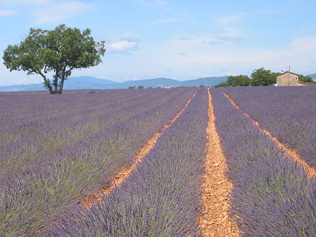 Lavendelfeld_Wikipedia_Jddmano
