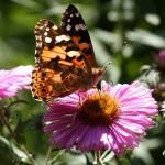 Naturnahe Gärten locken eine Vielzahl von Insekten an. Etwa den schönen Distelfalter | © fotolia