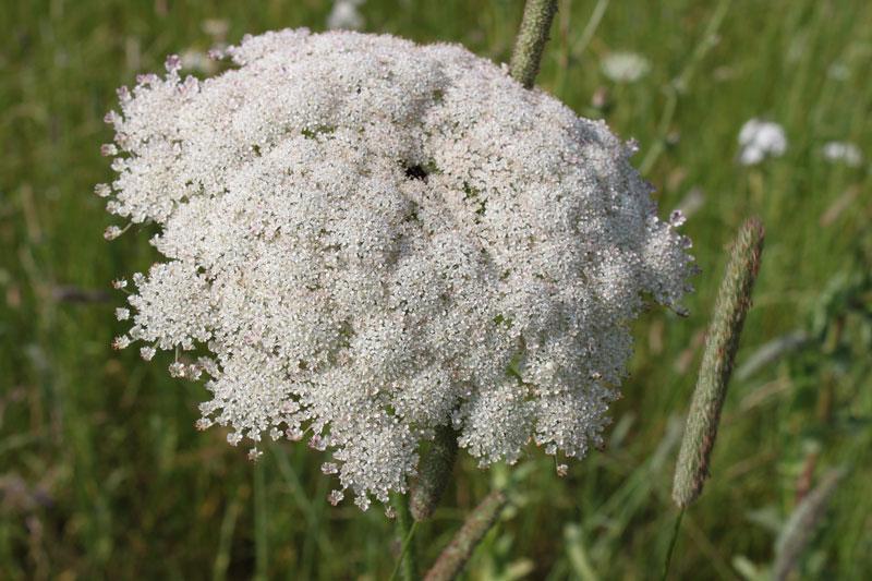 Wilde Möhre lockt vor allem den Schwalbenschwanz in den Garten. Mitte Juni legt das Weibchen seine Eier an Wilden Möhren und anderen Doldenblütlern wie Dill oder Fenchel ab. | © fotolia