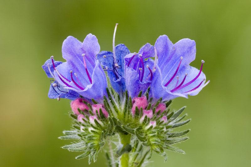 Natternkopf ist eine sehr nektarreiche Pflanze, die bevorzugt von Distelfaltern, Schwalbenschwänzen und Kohlweißlingen angeflogen wird. Seinen Namen verdankt er den schlangenartigen Blüten. | © fotolia