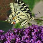 Sommerflieder ist zwar ein Exot aus den Tropen, dennoch ist er bei Faltern wie dem Schwalbenschwanz sehr beliebt. | © fotolia