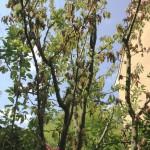 Was ist los, wenn am Pflaumenbaum die Blätter absterben?