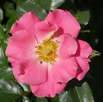 Rose_Unicef-Rose_(Kordes_2005)_Wikipedia Huhu