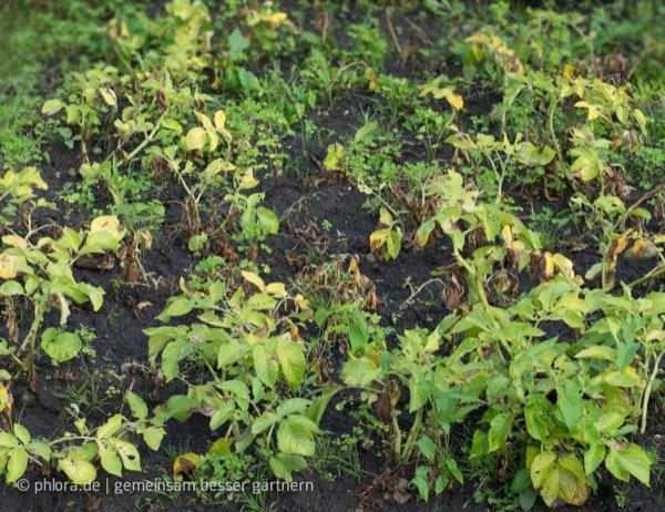 Die Blätter werden langsam gelb. Die KArtoffeln werden langsam reif | © phlora