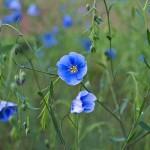 Blauer Lein | © Dagmar Zechel/pixelio