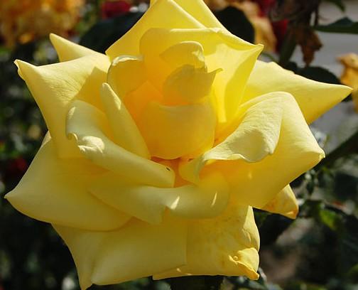 Rose_Berolina_(Kordes_1986)_Wikipedia_Huhu