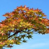 Acer_palmatum_Shigitatsu-sawa_Wikipedia_Stan_Sheps