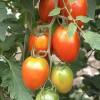 Tomaten_Grünkragen_Wikipedia_GFDL