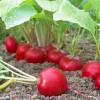 Leckeres Gemüse selbst anbauen, z. B. Radieschen | Foto: Fotolia