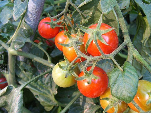 Tomate_Stabtomate_Wikipedia_Luigi Chiesa