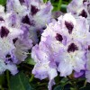 Rhododendron_Blue_Peter_Wikipedia_Ulf_Elisson