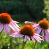 Der rote Sonnenhut benötigt einen sonnigen Standort | © Kanusommer – Fotolia.com
