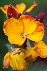 Goldlack gehört zu den zweijährigen Sommerblumen | Foto: fotolia.com