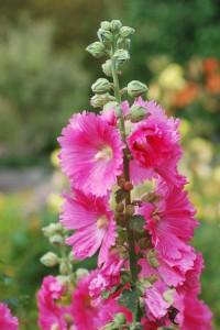 Bei Stockrosen wird nach der Sommerblüte der Samen ausgesät. Sie überwintern ähnlich wie Fingerhut. | Foto: fotolia.com