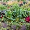 Mangold im Gemüsebeet – auch optisch ein Genuss | © phlora.de