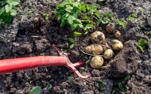 Kartoffelernte ist Handarbeit | Foto: phlora.de