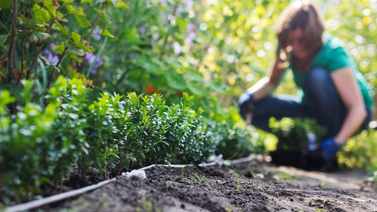 Hecke aus buchs pflanzen so geht 39 s for Buchsbaume pflanzen