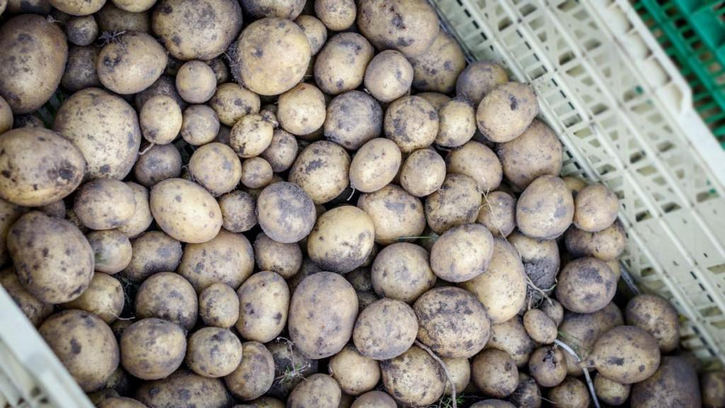 Kartoffeln müssen dunkel lagern | Foto: phlora.de